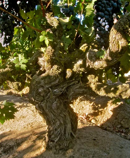 Old vine zinfandel from the famed Soucie Vineyard (planted in 1916) on Mokelumne's