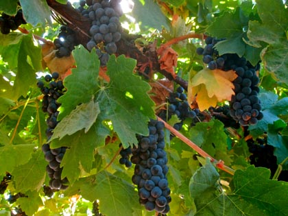 "Pristinely ripening Primitivo (clonal variation of zin, taken Sept. 2010) on the far ""left bank"" of Lodi's Mokelumne River"