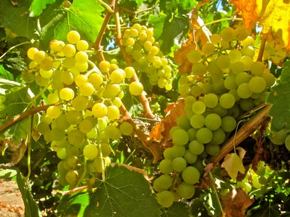 The rare Moscato Giallo, found in Kevin Delu's Lodi vineyard