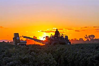 2010 Lodi harvest (photo by Diego Olagary)
