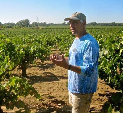 Macchia's Tim Holdener amidst head trained, own rooted zin planting managed by Dave Devine on east side of Lodi's Mokelumne River, just before picking last week