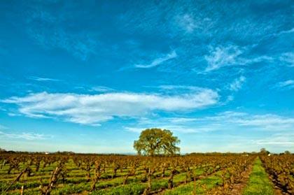 Old vine Carignane, Jesse's Grove