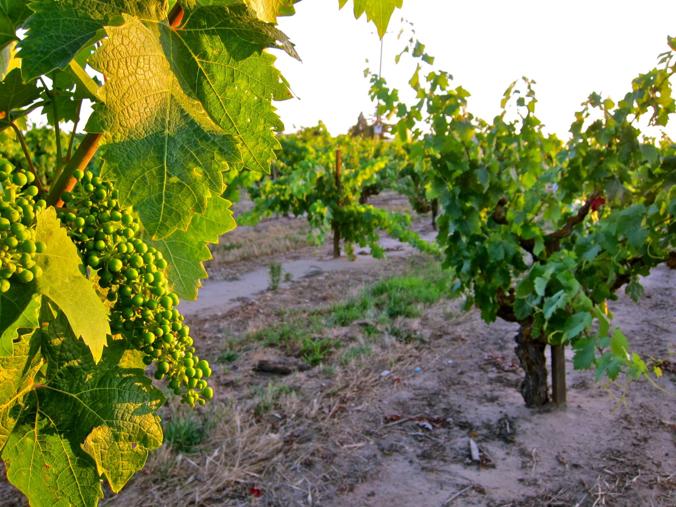 Update on 2011 Lodi wine crop