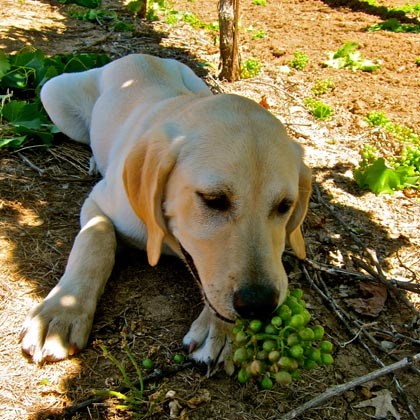 Grenache eating dog, July 8