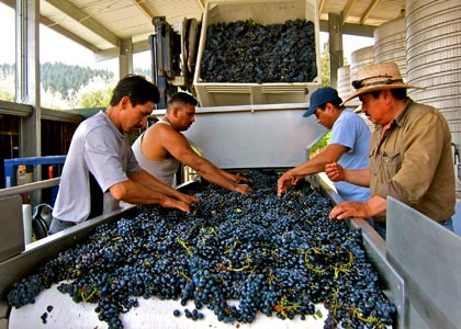 Dogtown winery sorting, Sept. 9