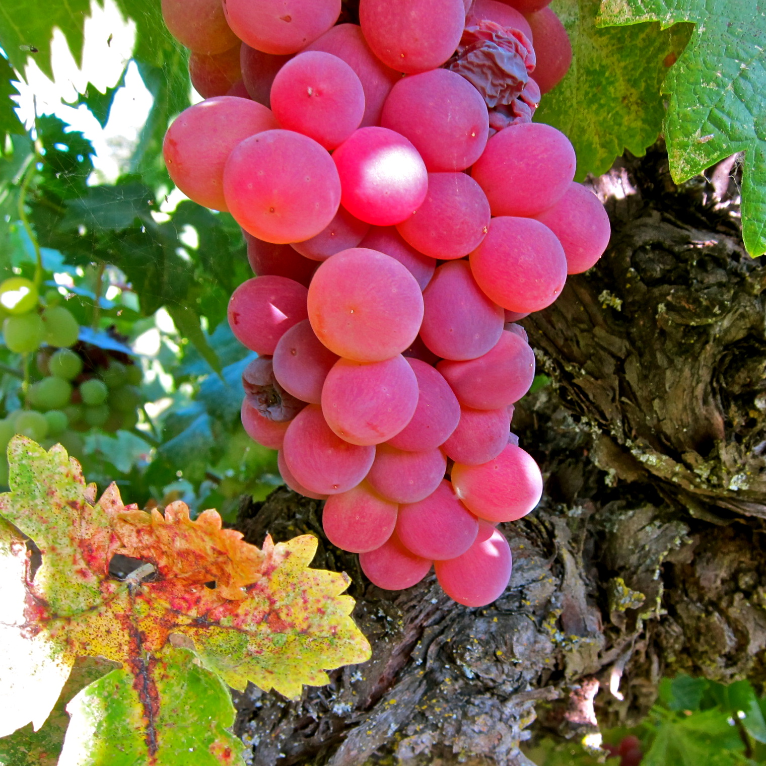 lodi wine commission blog the fiery fall and resplendent