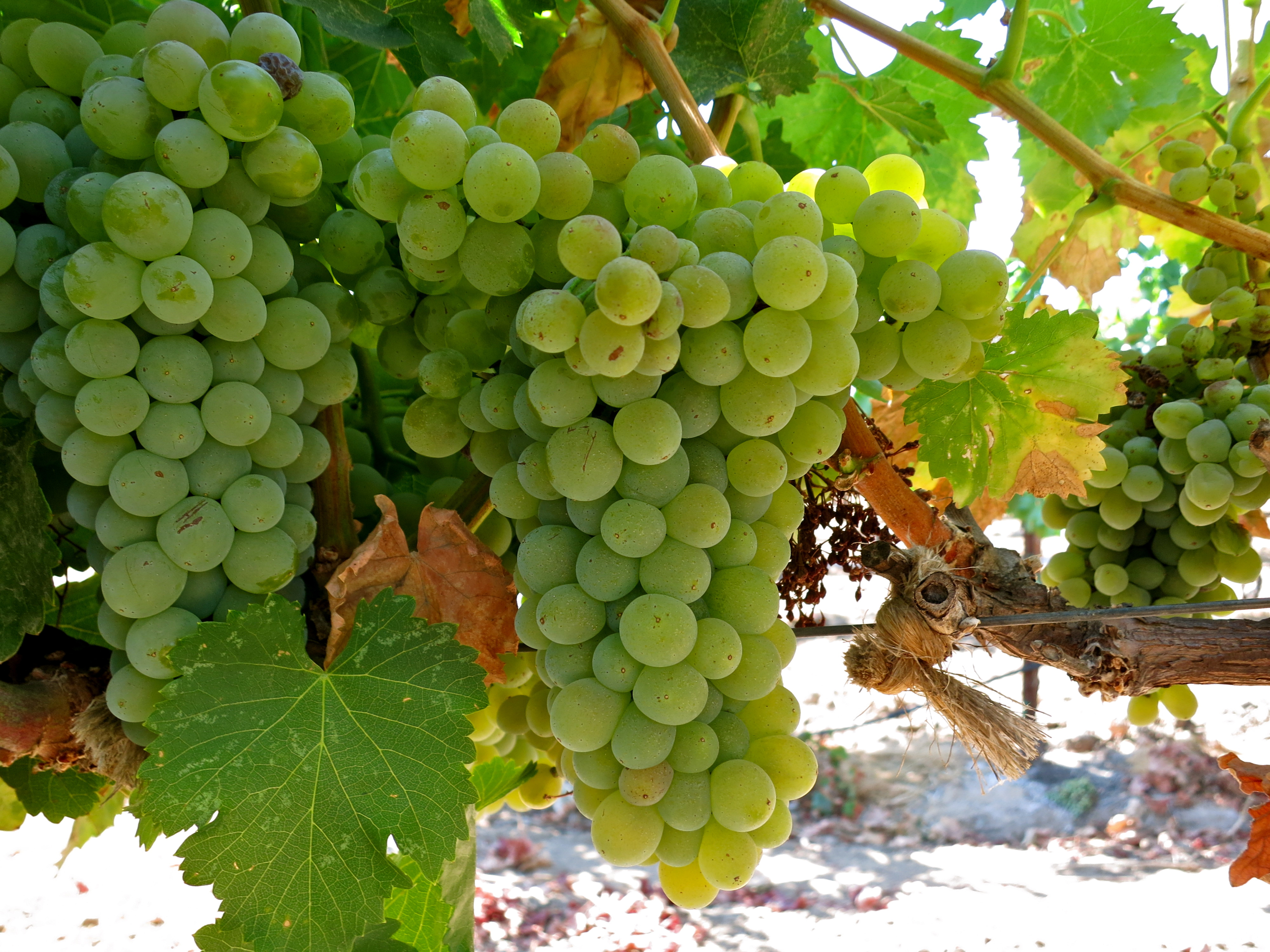 Acquiesce Grown Grenache Blanc Variant Of Noir Becoming Por Among Wiwers And Consumers
