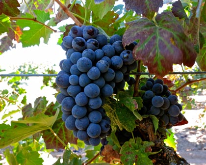 Barbera in Jahant-Lodi's Leventini Vineyard (goes to St. Amant and Macchia): as of this week, a little tart, a few weeks away from harvest