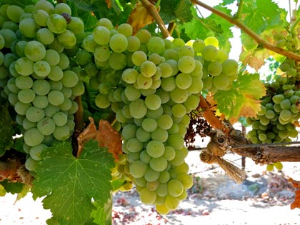 Acquiesce grown Grenache Blanc: variant of Grenache Noir, becoming popular among winegrowers and consumers as a white wine variety