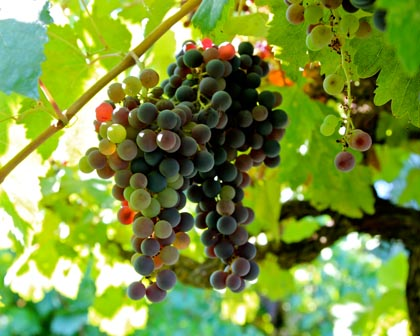 Colorful, but slow ripening, Mission grapes, farmed in Mokelumne River-Lodi by Mike Agnagnos