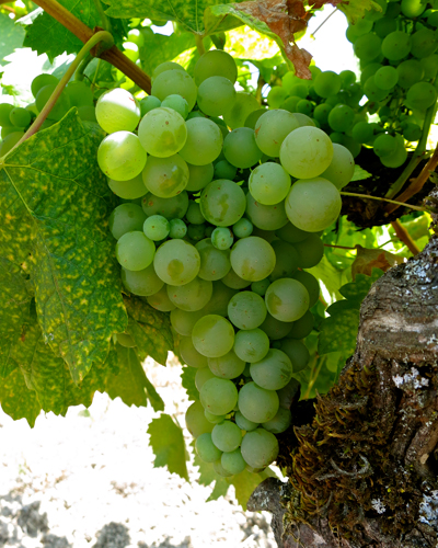 Colombard, not Chardonnay, was once the most widely planted white wine grape in California