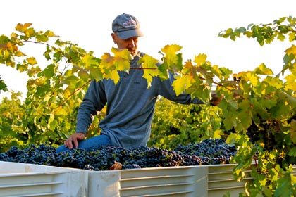 Through musical vines: Todd Maley sorting Zinfandel in his family's Weget Vineyard