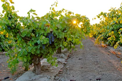7 AM sun peeking through Maley's Weget Vineyard Zinfandel