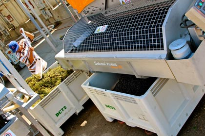 Intact Zinfandel berries drop below Pellenc sorter into macro-bin