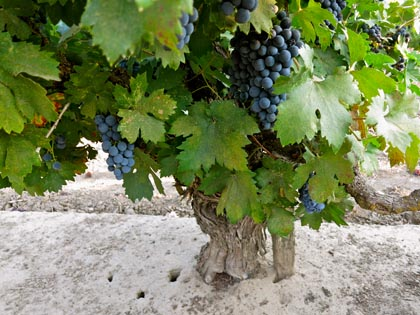 55-year old Weget Vineyard Zinfandel vines