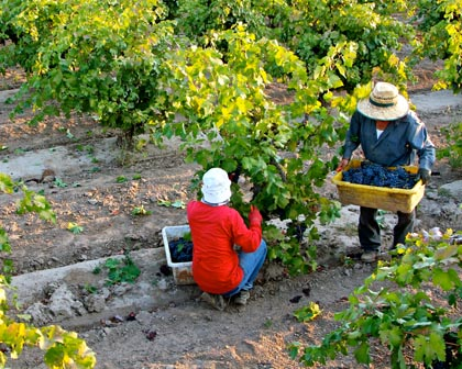 Harvesting Maley's Weget Vineyard Zinfandel