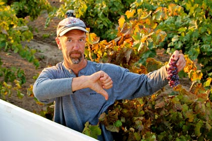 Maley rejects grapes with transluscent red colors
