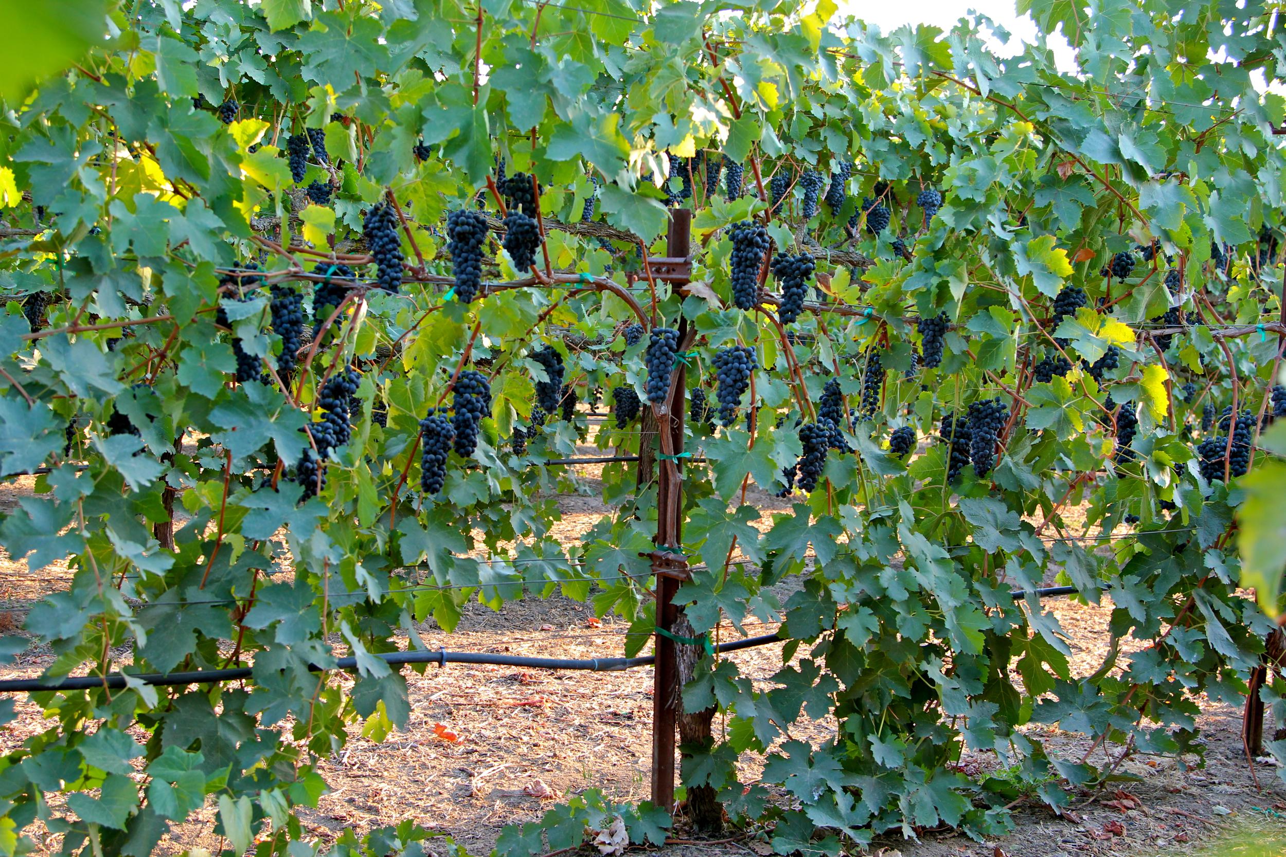 Lodi Wine Commission Blog Abba Vineyard Turns Sunlight