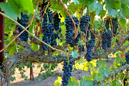 Stunning Lodi Wine Country sight: Abba Vineyard Syrah hanging from meticulous Smart-Henry trellis, like brilliant Christmas bulbs on a tree.