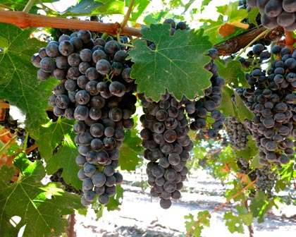 "These Cabernet Sauvignon grapes — destined for Michael David's luxury ""Rapture"" bottlings — probably won't be picked until mid-October"
