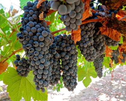 "Touriga Nacional (Silvaspoons Vineyards) is considered the ""king"" of Portuguese grapes"