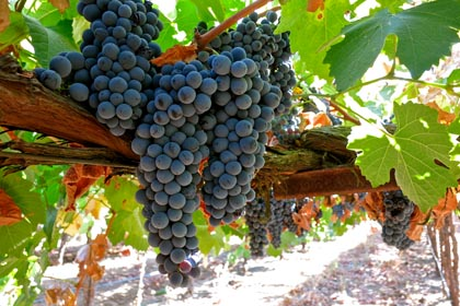 Touriga Francesa (Silvaspoons Vineyards) is another highly esteemed black skinned, native Portugese grape