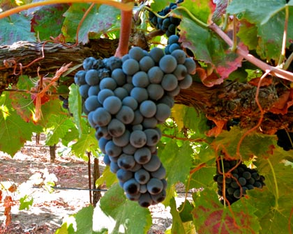 Tinta Cao (Silvaspoons Vineyards) is a major component in the famous sweet red wines (Port) grown in Portugal