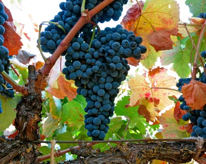 Tannat (Silvaspoons Vineyards) is a Southern French grape that yields bruisingly thick, black, big tannin reds