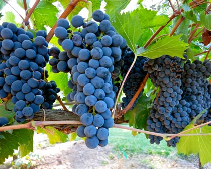 Sorelle Vineyards expects to pick their Sangiovese — the finest grape of Italy's Tuscay region — by the end of this week