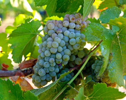 Weisserburgunder (Mokelumne Glen) is the same grape as the Melon de Bourgogne producing France's Muscadet whites, and which Californians planted as (mistakenly) Pinot Blanc