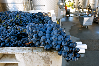 Heritage grape: Borra Vineyards Barbera, picked September, ready to go into co-ferment with Alicante Bouschet and Petite Sirah