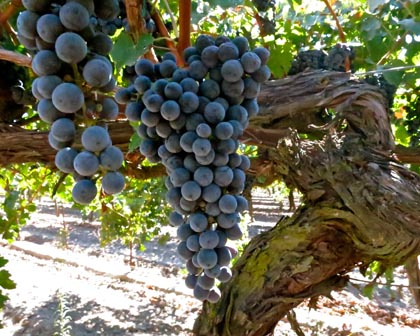 "Cabernet Sauvignon destined for Michael David's ""Rapture"""