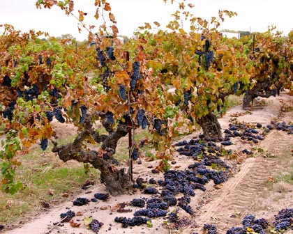 Piles of discarded Zinfandel clusters next to 97-year old Kirschenmann vines