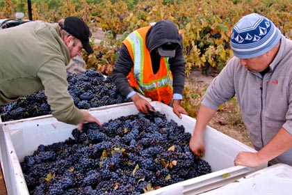 Tegan Passalacqua (right) field sorting Zinfandel