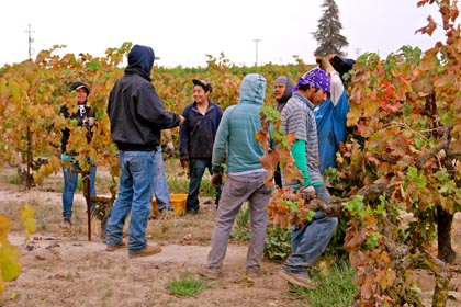 "Mid-field ""conference"" in Kirschenmann Vineyard"