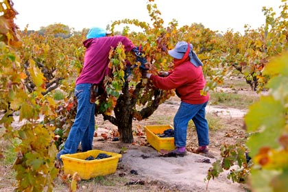 Pickers from Bokisch Ranches' year-round all-women vineyard crews