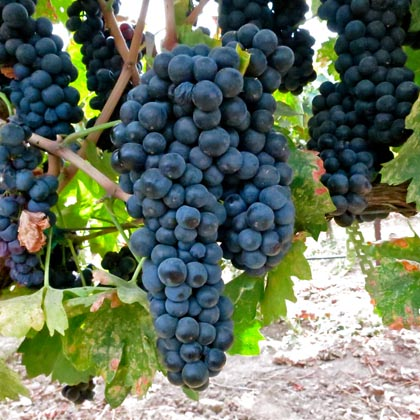 Maley Vineyards Primitivo in 2013: note long clusters and uniform sized berries