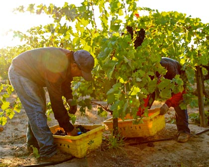 Harney Lane's Lizzy James Zinfandel harvest