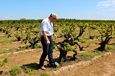 Craig Rous in his Rous Vineyard (planted in 1909 on St. George rootstock)