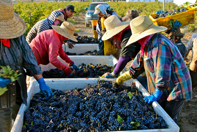 Zinfandel harvest; Lodi's Noma Ranch (own-rooted 100-year old vines)