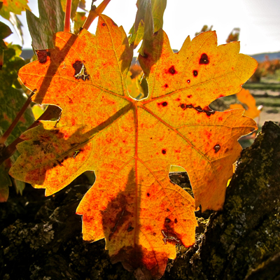 Zinfandel leaf in autumn (Noma Ranch)