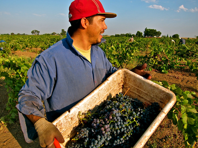 Dogtown Vineyard Zinfandel havest (Lodi's Clements Hills AVA)
