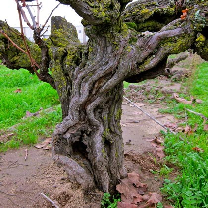 Ancient Zinfandel in Noma Ranch