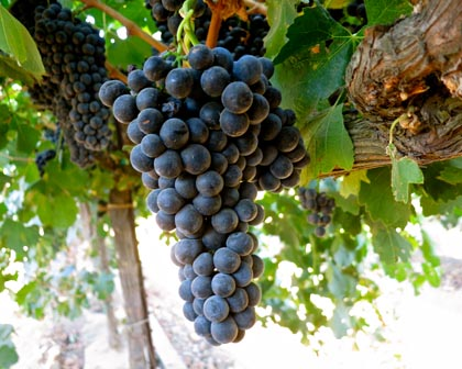 Phillips Farms Petite Sirah (grown for Michael David Winery)