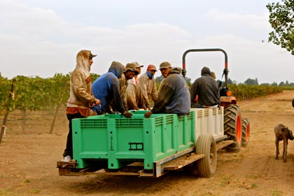Phillips Farms Petite Sirah pickiing crew