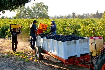 Zinfandel harvest in Harney Lane's Lizzy James Vineyard