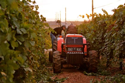 2013 harvest at Vinedos Aurora