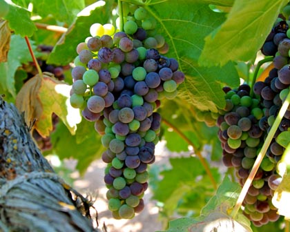 Tempranillo at veraison (Silvaspoons Vineyards, Lodi's Alta Mesa AVA)