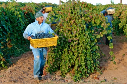 Petite Sirah harvest in Lodi's Vinedos Aurora estate