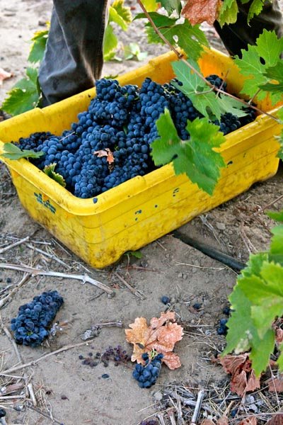 Lizzy James Vineyard harvest